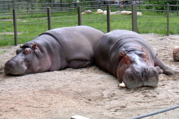 Exhausted hippos