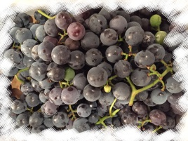 Concord grapes - packed with flavonoids