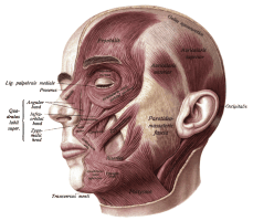 Muscles in the face